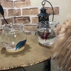 熱帯魚ベタ 熱帯魚ベタちゃん、青い方を買って来ました…(1枚目)