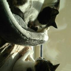 気まま放送/仲良し/きじとら白/はちわれ猫/フォロー大歓迎/猫/... ひと暴れ終了  まめ ちゃんと入ってる …