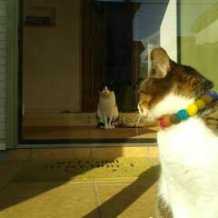 お迎え/夕方/はちわれ/きじとら白/にゃんこ同好会 仕事から帰って 玄関のドア開けっぱなしで…