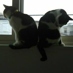 窓辺/はちわれ猫/きじとら白/猫/にゃんこ同好会 珍しく2にゃんこが 窓にいる! そのまま…
