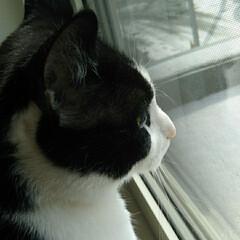 窓辺/はちわれ猫/きじとら白/猫/にゃんこ同好会 珍しく2にゃんこが 窓にいる! そのまま…(3枚目)