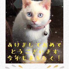 賀正/あけましておめでとうございます/テト/ニャンコスキー/白猫/しろねこ/... 旧年中はお世話になりました。 本年も宜し…
