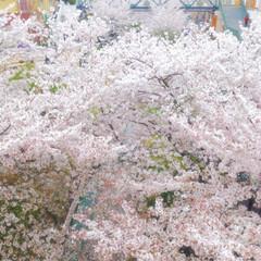 春/サクラ/つかしん/ショッピングモール/尼崎/兵庫県/... プロフのカバー写真にも使ってる3年前の桜…