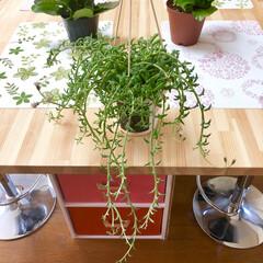 ドルフィンネックレス/お花屋さん/激安/植物/多肉/多肉植物/... 昨日の花屋さんにて。  ドルフィン持って…