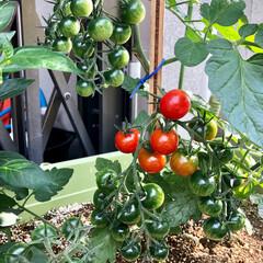 家庭菜園/夏野菜/野菜/トマト/プチトマト/ミニトマト/... ようやく色付き始めたミニトマト、一房丸々…