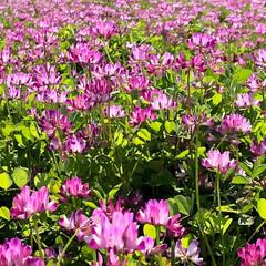 レンゲ畑/蓮華/花/お花畑/フラワー/ピンク/... 今日のレンゲ畑。  快晴の中、風にたなび…