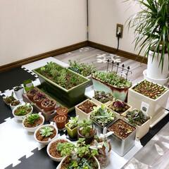 植物のある暮らし/植物/グリーン/棚は無くとも子は育つ/余震/地震/... 余震が怖くて棚に戻せない多肉ちゃん達… …
