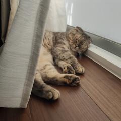 ねこ同好会/ねこ/ペット同好会 カーテンの中でぐっすりお昼寝中💤 ぽかぽ…