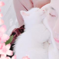 成長/なかよし/大好き/子猫/白ねこ/LIMIAペット同好会/... 1枚目は路上で出会ってから約12時間後。…