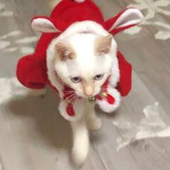 女王さま/クリスマスグッズ/子猫/白猫/ペット/猫/... クリスマスっぽくなるはずが、 女王さまっ…(1枚目)