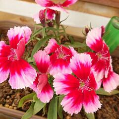 花栽培/ベランダ/ガーデニング/花 このご時世だけど、花は素敵❁❀✿✾ 【カ…