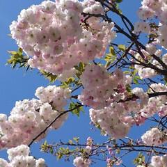 満開/桜/ピンク/暮らし 20数年ものの八重桜が、駐車スペースを作…