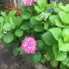 梅雨 今年もキレイに咲き始めた紫陽花〜