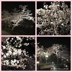 湖畔/花見/夜桜/桜 夜桜ぉaki🌸  のみすぎましたぁ〜😊