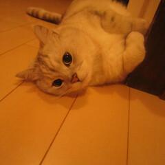 猫/廊下/熱帯夜/zzz ピッコロくん。。。暑くてもここが1番寝や…