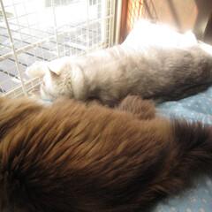 猫/猛暑/お昼寝/夏バテ ・・・・・・/(・ェ・`i)\アツー・・…