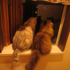 ペット/猫/パパ 毎日同じ時間~大好きなパパを出窓で待って…