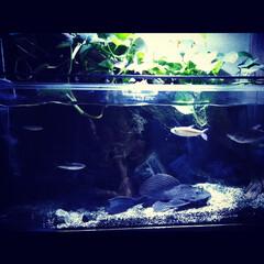 水槽/オーバブロー/プレコ/熱帯魚/水槽のある暮らし なかなか出てこない巨大セルフィンプレコが…