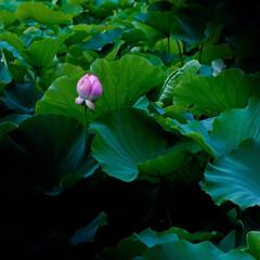 蓮の花/涼しげ せめて涼しげな景色でも・・・