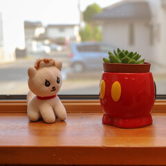 多肉植物/マドレーヌ/ミッキーマウス 窓際で戯れる