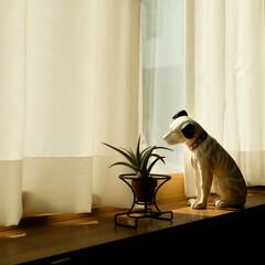 住宅/木の家/宇都宮/ビクター犬/ニッパー/小春日和 小春日和 カーテン越しに、 柔らかな光が…