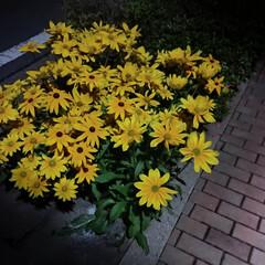 黄色い花/夜の帰り道/街灯 夜の帰り道 街灯に照らされて 黄色が映え…