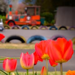 陽気/公園/壬生町/菜の花/チューリップ/春の花 春真っ盛り  過ごしやすい陽気ですが、今…