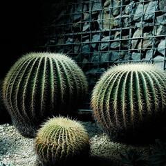 サボテン/さぼてん/新宿御苑/男前インテリア 新宿御苑内の植物園 サボテンはトゲがある…