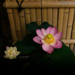 蓮の花/紫陽花/あじさい とある公園を散策 色とりどりの花達 癒さ…(2枚目)