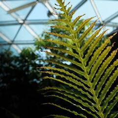 シダ植物/植物園 太陽の光に透かしてみれば・・・