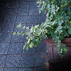 石畳/アイビー/丸の内ブリックスクエア 何の変哲もない植え込みですが、石畳と緑が…