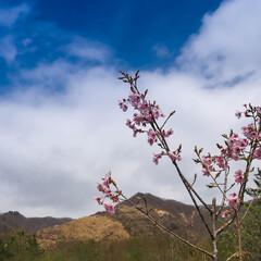 足尾/ローカル線/わたらせ渓谷鐵道 数年前の足尾の桜 今年も咲いているかなぁ