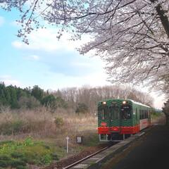 ローカル線/桜/レトロ/多田羅駅/真岡鐵道 ローカル線 真岡鐵道 SLが有名ですが、…