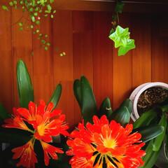 満開/君子蘭/春の花 いつの間にか満開🏵️ 最近気持ちに余裕が…