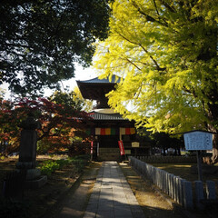 陽気/散歩/足利市/鑁阿寺/青空/イチョウ ポカポカ陽気で散歩するには良い季節ですね…