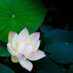 ハスの花 見事な咲きっぷりです。 ハスの花は短命と…