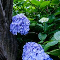 蓮の花/紫陽花/あじさい とある公園を散策 色とりどりの花達 癒さ…