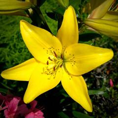宇都宮市/栃木県/ビタミンカラー/ユリ/花 ご近所様の畑で咲いているユリの花  色あ…(1枚目)