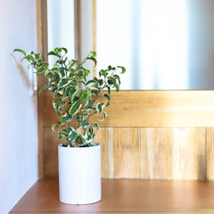サイエンスホーム/阿部興業株式会社/サンセベリア/パキラ/ベンジャミン/木の家づくり/... 家の中に緑があると、空間にメリハリができ…(2枚目)
