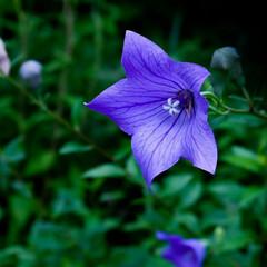 涼しい/夏の花/桔梗 夏の花と言えば向日葵のように元気なイメー…