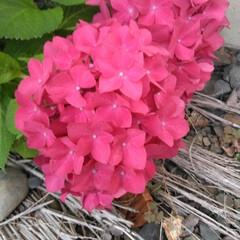 アジサイ 庭の紫陽花  今が1番見頃ですね✨ pi…(1枚目)
