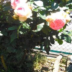 薔薇 庭の薔薇が咲きました🥰  癒しになります…(1枚目)
