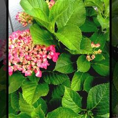 風景/庭づくり/紫陽花/お庭あそび 庭の紫陽花が 紅く色づきました!  綺麗…