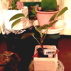 観葉植物のある暮らし/ワッツ購入品/植え替える/観葉植物/サボテンdeオーバル/雑貨/... サボテンちゃんたちの鉢の 植え替えをしま…