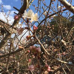風景/小さい春 庭のさくらんぼの木に、花が咲いてました。