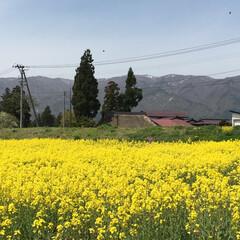 菜の花畑 家から近い、菜の花畑です。  今年も一面…
