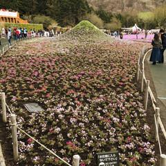 芝桜/富士山/わたしのGW 残念ながら富士山は、見えなかったけど、綺…