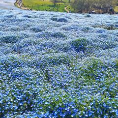花/ガーデン ひたちなか公園 ネモヒィラの丘 すごく綺…