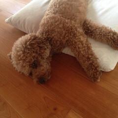睡眠/犬 昼寝の餡子。(遠)