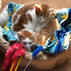 猫カフェ/保護犬/保護猫/2018/ペット/ペット仲間募集/... 2匹で円を作って日向ぼっこ(保護猫クッキ…